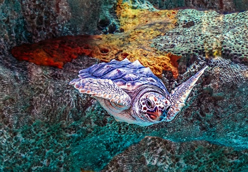 loggerhead turtle stella2