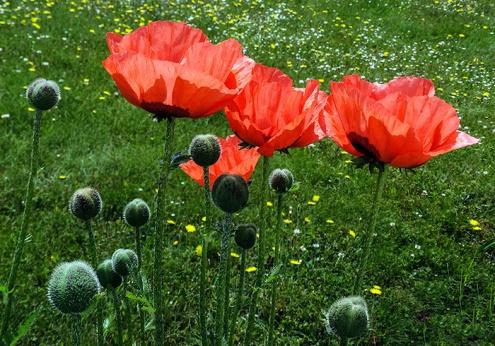 oriental poppies2