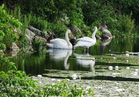 swan mates_love