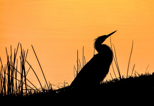 anhinga at sunrise silhouette5x7