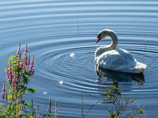 swan bathing