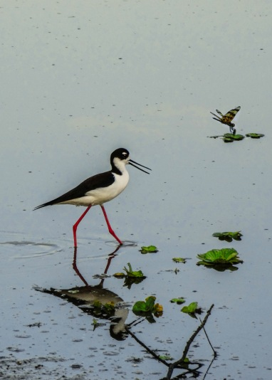 black backed stilt strutting with dragonfly