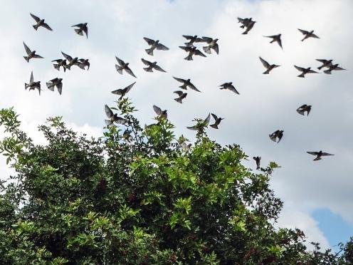 cedar waxwing flock taking off