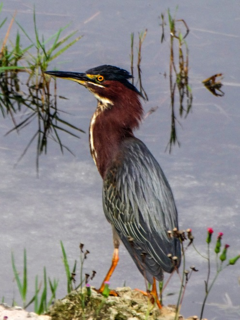 green heron standing and posing