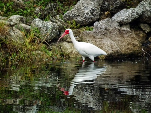 ibis hunting
