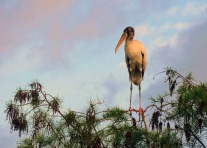 juvenile stork in a tree3