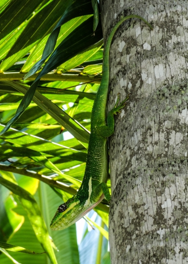 knight anole on palm tree2