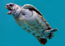 loggerhead turtle stella smiling