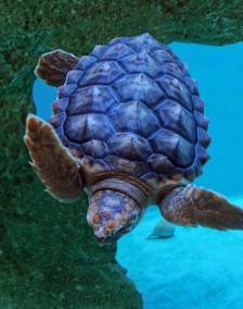 loggerhead turtle stella