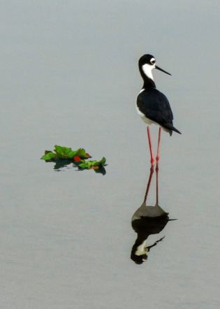 lone black back stilt for card