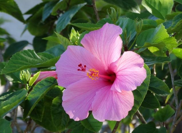pink hibiscus2