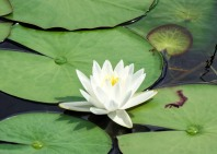 water lily at grassy waters2